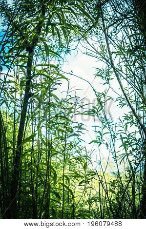 Artistic natural background with bamboo trees in the summer
