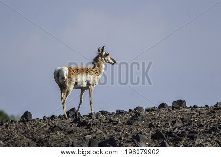 Pronghorn standing on a hill in northeastern Wyoming.