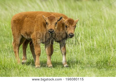 Two bison calves in a field near Custer South Dakota.