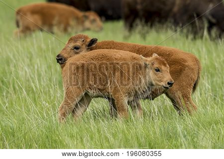 Two bison calves side by side near Custer South Dakota.