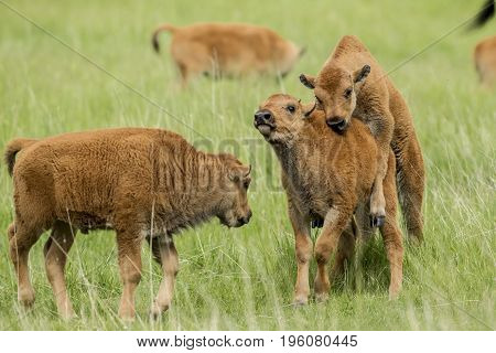 One bison calf tries to mount another calf near Custer South Dakota.