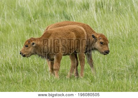 Two small bison calves standing in field near Custer South Dakota.