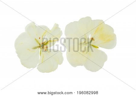 Pressed and dried delicate transparent flowers geranium (pelargonium) isolated on white background. For use in scrapbooking floristry (oshibana) or herbarium.