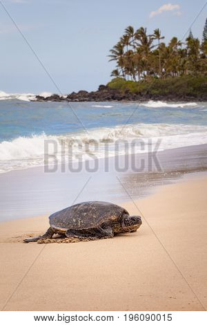 The green sea turtle also known as the green turtle black turtle or Pacific green turtle is a large sea turtle of the family Cheloniidae. It is the only species in the genus Chelonia. In Hawaii they are known as Honu.