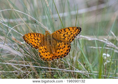 Dark Green Fritillary (argynnis Aglaja) Butterfly Basking On Grass