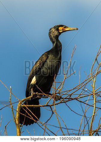 Great Cormorant  In Tree