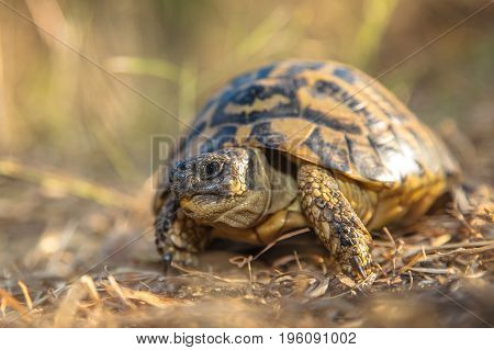 Hermann's Tortoise (testudo Hermanni) Are Small To Medium-sized Tortoises From Southern Europe