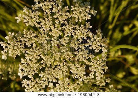 Queen Anne's Lace is another name for wild carrot.
