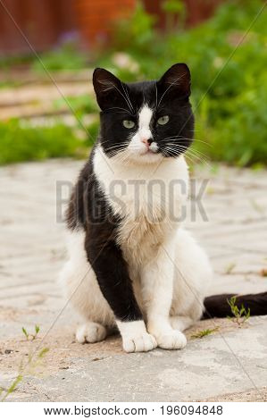 White And Black Cute Cat Pussycat Sit On Concrete Tile Road Outdoor Summer.