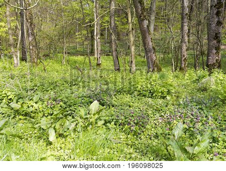 sunny illuminated forest scenery with dense ground cover vegetation at spring time