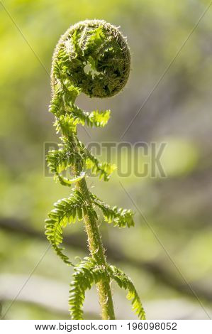 detail shot of a young rolled fern frond in natural blurry ambiance