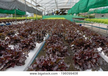 Hydroponics vegetable farm. The hydroponics in farm. Organic hydroponic vegetable. Fresh vegetables for making salads Hydroponic vegetable farm organic cabbage