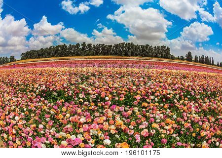 Magnificent flowering garden buttercups. Spring in Israel. The concept of modern agriculture and industrial floriculture. The picture is made  Fisheye lens