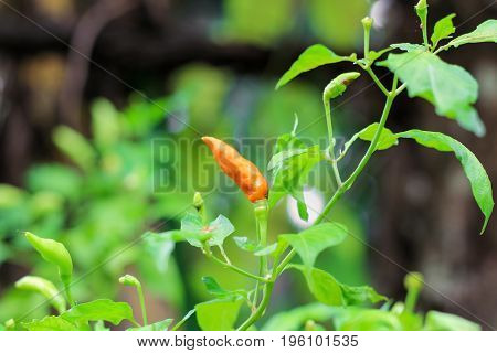 Red chili on green leaf in the garden