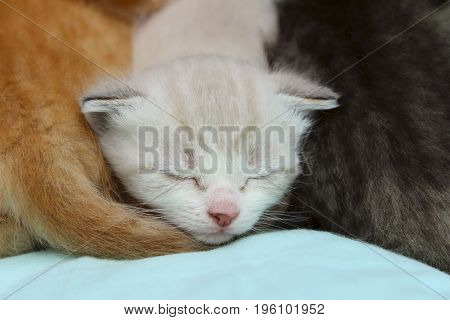 Cute little white kitten sleeping between red and grey kittens.