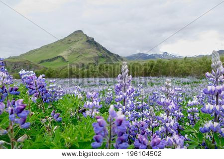 Violet Lupina Unoriginal Plant Brought To Iceland
