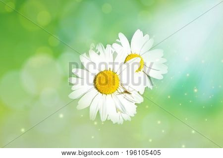 Daisies in Sunny green background with spider on the petal. Macro. The light airy image