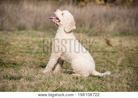 Laggoto romagnolo is sitting on the command as a part of obedience training