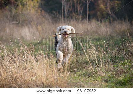 Laggoto romagnolo running through the dry grass field