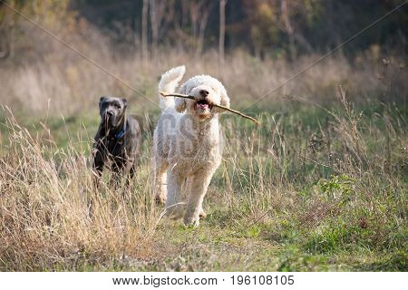 Two dogs chase through a field with a dry grass
