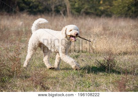Dog runs through a field with the stick in his mouth