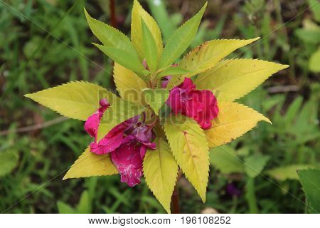 Impatiens balsamina is one of famous flower in the garden