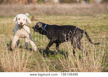 Two dogs in the field playing with the stick