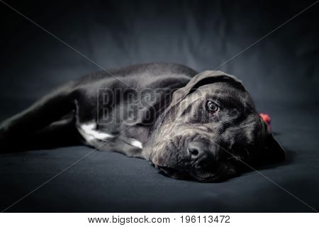 Sleepy cane corso puppy take a nap during a studio session