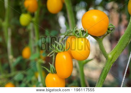 Yellow tomatoes in glasshouse , concept for article.