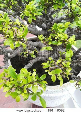 dwarfed trees bonsai in white plant pot