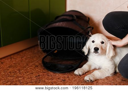 Puppy dog Labrador Retriever sitting in his transporter or bag and waiting trip travel. concept of transportation, transportation of animals.