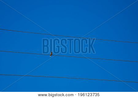 Long Distant Closeup View Of Small Bird Over Urban Cables