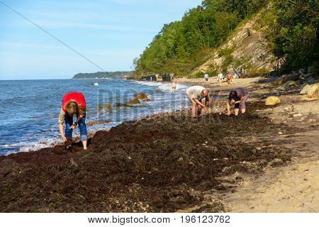 Otradnoe, Russia - July 14, 2017: People looking for amber in seaweed on the shore of the Baltic Sea