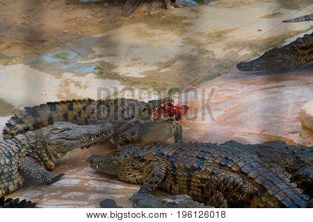 Many Crocodiles In The Farm In Tunisia
