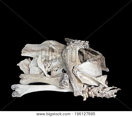 Closeup of Elephant Bones Isolated on Black Background Clipping Path