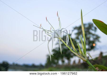 pider Lily flower white in a garden ( Crinum asiaticum)
