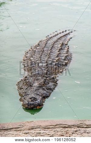 Crocodiles In Green Water At Crocodile Farm In Tunisia.