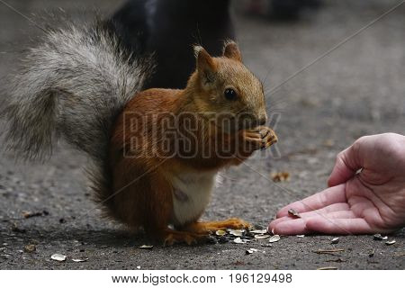 Squirrel sits on a path in the park. A red squirrel with a fluffy tail gnaws seeds from the hands of a man. Close-up. Nature.