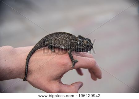 Cute Small Chameleon Sitting On A Hand