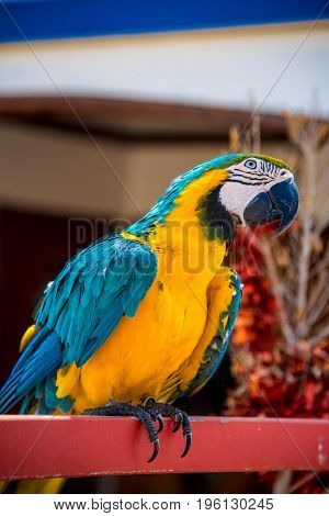 Colourful Parrots Bird Sitting On A Perch.