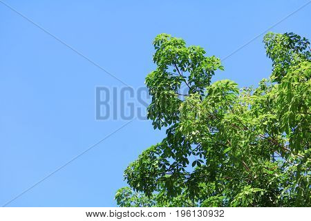 branch leaf of rubber tree beautiful in forest on blue sky background