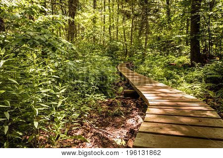 Wooden pathway winds through a lush green forest
