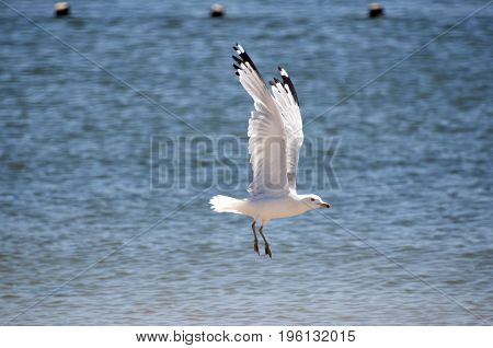 this is an image taken of a seagull that is landing on the water