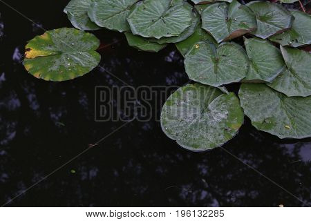 water plant water lilies and lilies in a pond