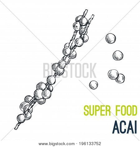 Acai berries. Super food hand drawn sketch vector illustration.