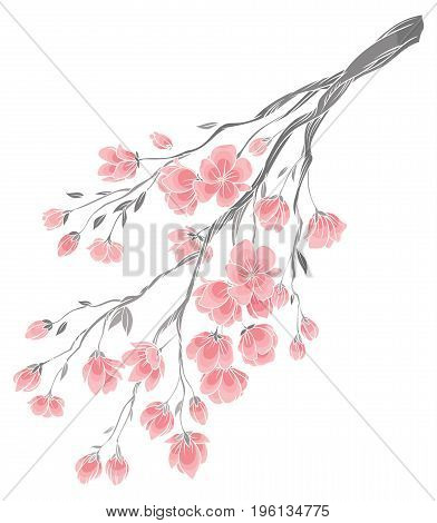 vector hand drawing - branch of sakura cherry blossoms with delicate pink flowers on white background