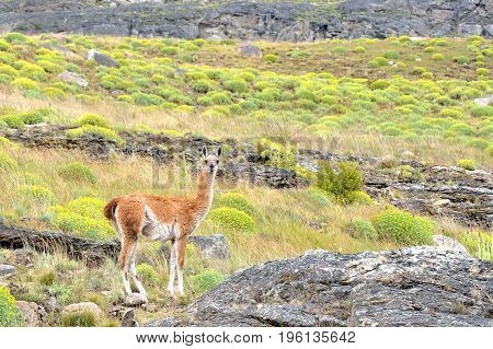 Guanaco Looking To The Camera In The Patagonia Fields