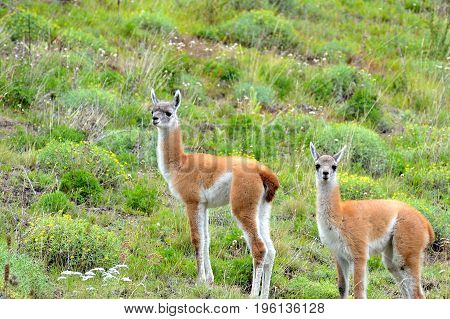 Couple Of Young Guanacos In The Patagonia Fields.