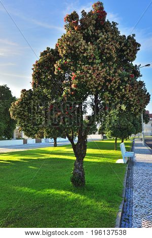 Blooming tree on promenade of famous resort Costa Nova Aveiro in Portugal shown at sunset
