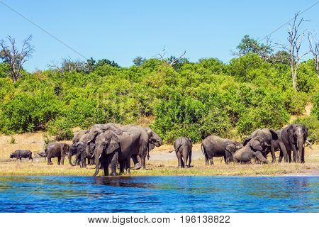 Watering in the Okavango Delta. The concept of active and exotic tourism. Chobe National Park in Botswana. Herd of African elephants crossing river in shallow water
